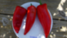 """Here is the Beaver Dam Pepper, Capsicum annuum, Scoville units: 1,000 to 5,000 SHU. This Heirloom was brought to Beaver Dam, WI, from Hungar in 1912 by the Joe Hussli family. It sets several large shiny horn-shaped 6 inches long and 3"""" wide that taper to a pointare red orange peppers.Plants are a short but stocky compact type plant. Both sweet and hot. Most of its mild spice is in its seeds and ribs so you can remove that if you want. Makes a great house plant in the winter. Open-pollinated 80 days."""