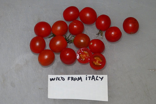 Here is the Wild Tomato From Italy, Solanum lycopersicum. This tomato originates from the mainland of Italy. We have made hun