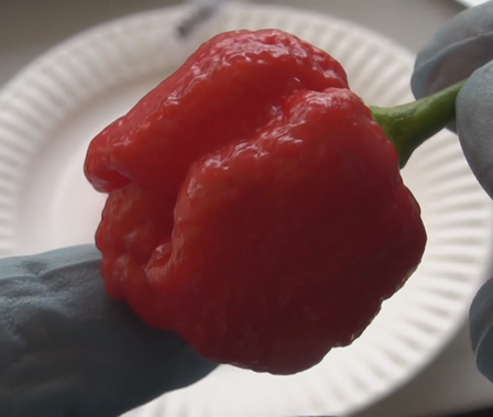 Here is the Trinidad Moruga Scorpion Pepper, Capsicum chinense, Scoville units: 1,200,000 ~ 2,000,000 SHU. The Trinidad Moruga originates from the town of Moruga in Trinidad and Tobago. Itwas a variant of the original Trinidad scorpion but are NOT the same thing.Seeds are from the Moruga variant which as of 2012 is considered the hottest pepper in the world, with an SHU rating of over 1.5 million. Originally from the Caribbean, it bears wrinkled, often pendant shaped pods with no tail. Fruits ripen to red and are 2 inches in size. Plants can get to 3.5 feet tall and thick an bushy. Care should be handled with fruits and seeds as both are extremely hot. Open pollinated. 100-120 days.