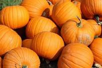 Jarrahdale Pumpkin, Cotton Candy Pumpkin, Kakai Hulless Pumpkin, Dill's Atlantic Giant Pumpkin, Musquee de Provence Pumpkin, fairytail pumpkin, Cucurbita moschata, Valenciano Pumpkin, Japanese Pumpkin, kabocha squash, kabocho, kabotcha, Small Sugar Pumpkin,Cucurbita pepo, Jack O' Lantern Pumpkin, Cucurbita maximais, Tatume, Cucurbita pepo, Jack Be Little Pumpkin, Atlantic Giant Pumpkin, Big Max Pumpkin, Prizewinner Pumpkin, Big Moon Pumpkin, Kakai Pumpkin, Jarrahdale Pumpkin, Cinderella Pumpkin, Fairytale Pumpkin, Cheese Pumpkin, Musquee de Provence, Baby Boo Pumpkin, Blue Doll Pumpkin, Connecticut Field Pumpkin, Howden Pumpkin, The Jack O'Lantern Pumpkin, Peanut Pumpkin, Warty Pumpkin, Hokkaido Pumpkin, Dickinson Pumpkin, Marina Di Chioggia Pumpkin, Munchkin Pumpkin, Queensland Blue Pumpkin, Knucklehead Pumpkin, Seminole Pumpkin, Crookneck Pumpkin, Crown Prince Pumpkin, Blaze Pumpkin, Calabaza Pumpkin, Lumina Pumpkin, Small Sugar Pumpkin, Styrian Pumpkin, Rumbo Pumpkin, Baby Bear Pum
