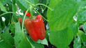 Here is the GolbasiPepper, Capsicum annuum. Scoville units: 000 SHU. This pepper originates from the city of Gölbaşı in Turkey. These peppers are a medium sized bell shape and are SWEET! Plants are very productive in full sun and put out a dozen or more fruits. Peppers get to around 4 inches but can get a little bigger and turn from green to red when ripe. Plants get to around 3 feet tall with very thick foliage and compact. We found them especially good for eating fresh in salads but also good in fried dishes! Open Pollinated, 75 days from transplanting.
