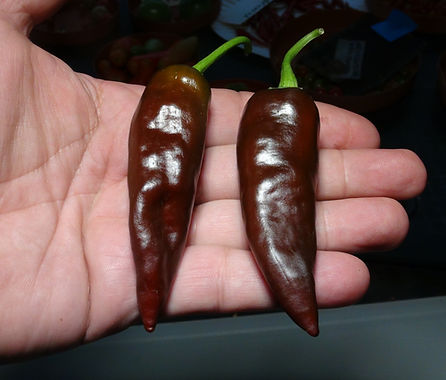 Here is the Ethiopian Brown Berbere Pepper, Capsicum annuum, Scoville units: 10,500 to 45,000+ SHU. This rare and exotic pepper originates from Ethiopia. It is also known as Berbere pepper, Ethiopian Berbere and Ethiopian Brown. This strange pepper is very unique and doesn't resemble any other pepper. The pods get to around 5 to 6 inches long and has a mild coco flavor that is somewhat short lived. Fruits start out green in color with flat or satin finish and turn brown when fully ripe. Plants can get to 3+ feet tall and tend to be a medium sized plant but if pruned and potted they tend to stay small like 2 feet tall and bushy. Pods have an amazing flavor with a very nice uniqueness and medium to low heat with sweetness that is very satisfying. Some peppers may be very hot so be careful! These make a great drying pepper with the walls being very thin an will dry on the plant if left on. It's also good for fresh eating too! Very rare and hard to get variety! Open pollinated mid to late