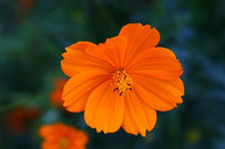 Here is the Cosmos Bright Lights Mix flowers,Cosmos sulphureus. Itis native to scrub and meadowland in Mexico where most of the species occur. Cosmos are herbaceous perennial plants or annual plants. The leaves are simple, pinnate, or bipinnate, and arranged in opposite pairs. These range from white to dark orange. Open pollinated Zone: 3-10, 7-21 Days