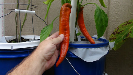 The Giant Marconi Pepper, Capsicum annuum, Scoville units: 000 SHU was Created in Italy and is a sweet pepper. This pepper is also an All America Selections winner. Large, tapered fruits are 8 incheslong x 2.5incheswide and can be picked green or left on the plant a little longer and harvested red. The fruits mature earlier to red than other varieties. Grow in full sun, at least 6 hours of direct sun a day, in soil that is rich in organic matter and well drained. Start seeds indoors 6-8 weeks before your normal planting time, after the chance of all frost. Open pollinated 77 days.