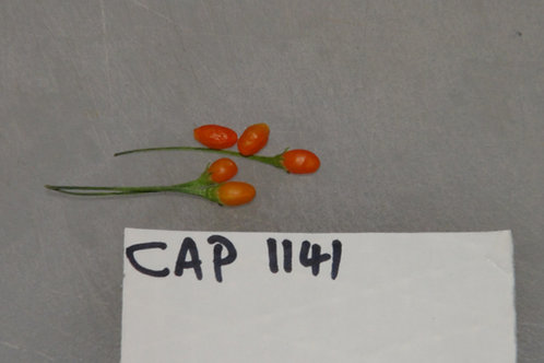 Here is the CAP 1141 Pepper, Capsicum Praetermissum, Scoville units: 400 to 1,200 SHU. This rare and unusual pepper originate