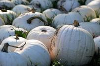 Cotton Candy Pumpkin