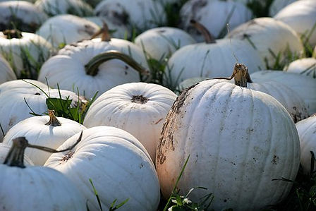 Here is the Cotton Candy Pumpkin,Cucurbita pepo. It is a medium sized white pumpkins an has a ghostly white skin an a white sometimes light orange flesh as well! they can range from a bright white to a light pink color in late season. When carving them with a white flesh inside looks really spooky and amazing with light up with a candle. They are edible but not the best for making pie tho white pumpkin pie is really an eye catcher! They can get to 15 Lbs and weigh as much as 20 Lbs. plants or vines get to 18 feet long and make about 6 pumpkins per vine. We mostly use them for display on Halloween and roasting seeds. Sow seeds directly in your garden. Open pollinated 90 to 100 days.