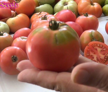 Here is the Porter Tomato, Solanum lycopersicum, PI# 270281. This tomato was developed by V. O. Porter from Porter & Son Seed Company,Texas and was specifically created for the Texas climate. These tomatoes are a nice pink color sometimes with greenish shoulders. Most of the tomatoes are round but some do get a ovate shape. It also makes a great tomato sauce as well. Highly productive and produced 4 oz fruits all the way up to the first frost! Open pollinated. Indeterminate. 70 days.