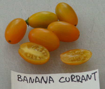 Here is the Banana Currant Tomato , Solanum lycopersicum Var. pimpinellifolium. This tomato variety originates from the UK and is a cross between a Banana Legs (S. lycopersicum) tomato and a Goldrush Currant tomato ( S. pimpinellifolium) an was created by Plant World Seeds. Fruits are about 1 inch long and lemon yellow in color. It is said that this variety is still not fully stable yet but so far so good! Very sweet and tasty and a heavy producer. Open pollinated. Indeterminate. regular leaf 55-75 days.
