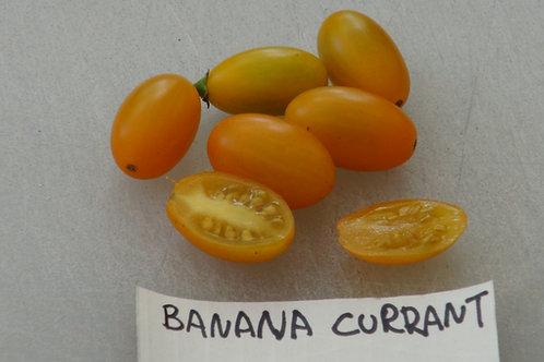 Here is the Banana Currant Tomato , Solanum lycopersicum Var. pimpinellifolium. This tomato variety originates from the UK an