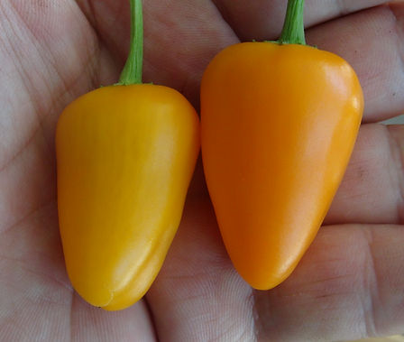Here is the Orange Spice Jalapeno Pepper, Capsicum annuum, Scoville Units: 2,000 ~ 8,000 SHU. This pepper originates from the USA and was created by the New Mexico State University's Chile Pepper Institute often referred to as NuMex. It is a cross between a early jalapeno and a permagreen bell pepper. This very productive variety produces pods from about 1.5 to 2 inch long fruits with an orange color. They have a jalapeno type flavor with a twist of sweetness. Some say these peppers can get to 80,000 shu but have fund this not to be the case with our plants. Plants get to 3 feet tall and bushy. Open pollinated 78 days from transplanting.
