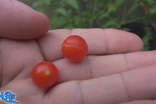 Here is the Spoon Tomato, Solanum pimpinellifolium, new for 2019. Some say it is the worlds smallest tomato! This Indetermina