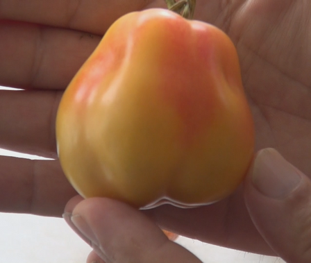 Here is the Polish Pastel Tomato, Solanum lycopersicum. This tomato originates from Woden Act, Australia and was created byJohn Smarsz. This tomato has a cream or yellow skin with blushing of deep pink and same for the flesh inside getting to about 2 to 3.5 inches across and weighting around 2 oz. This is a hollow tomato and plants can get to 7 feet tall in really good soil but plants tend to get to 4.5 feet tall. The fully ripened fruits will have a deep rich color to them. Great tasting tomatoes for salads, eating fresh and for tomato sauce and paste! Open pollinated indeterminate regular leaf mid season 63-88 days.