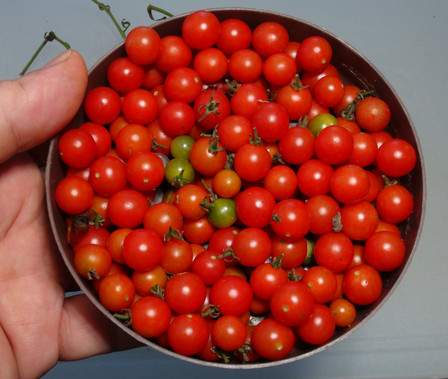 In this offer you will receive 25+ mixed varieties of cherry and currant tomato seeds, Solanum lycopersicum, Solanum pimpinellifolium! These are the seeds from the many tomatoes we don't gather at the end of the year. At the end of the year, there thousands of tomatoes that fall away from the vine and cover the ground. We gather them up an put them intobuckets. there are at least 20 of each, cherry and currant tomato varieties in this mix. you may get a few larger tomato mixed in but very few if any. We process over 75verities of tomatoes in 2020. Please note the is the Green Krim mixed in and this variety does not turn red when ripe. Open pollinated early-mid-late season, regular leaf 50 to 90 days.
