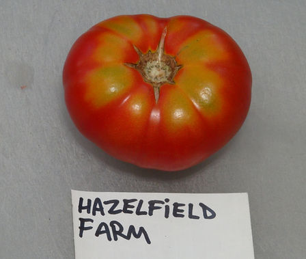 Here is the Hazelfield Farm Tomato, Solanum lycopersicum. This tomato originates from Hazelfield Farm in Worthville Kentucky and was found as a volunteer in their fields in 2008. The fruits are a slightly flattened beefsteak tomato that has a pink to dark orange skin and deep orange-red flesh inside getting to about 3 inches across and weighting around 7 oz. The thing about this variety is just appeared in the fields out of nowhere and loves dry and hot summers! Plants can get to 4 feet tall in really good soil but plants tend to get to 3 feet tall. Great tasting tomatoes for salads, eating fresh and for tomato sauce and paste! Open pollinated indeterminate regular leaf mid season 65-85 days.