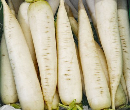 Here is the White Icicle Radish,Raphanus sativus var. Longipinnatus.This radish dates back as far as 50 B.C. in china. They are bring white to bone in color and growfrom4 to 5 inches longand have a mild flavor but can have a hot spiciness at times. It has a white skin with a bright white flash inside with a crisp crunchy spicy flavor. They are different then the Daikon radish. Radishes in general can be useful as companion plants for many other crops, probably because their pungent odor deters such insect pests as aphids. This is a great starter vegetable for new gardeners. Open pollinated, about 50 days.