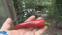 Mirasol Chile Pepper
