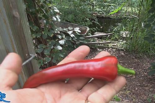 Here is the Mirasol Chile Pepper, Capsicum annuum, Scoville units: 2,500 to 5,000 SHU. The Mirasol Chile Pepper originates fr