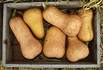 Here is the Waltham Butternut Squash, Cucurbita moschatais. This winter squash originated in Waltham, Massachusetts and is a improved version of butternut squash that has a sweet nutty flavor with orange flesh and tan skin. This 1970 All-America Selections winner has larger fruits and smaller seed cavities and can reach 10 inches long and 5-6 lbs. This squash is known for its smooth texture and sweet flavor. It is most often used to make pies but can be used in soup. Plants are pretty productive getting to 11 feet long and making as many as 10 fruits per vine. a great choice for and garden! Open pollinated 90 to 110 days.