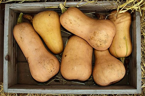 Here is the Waltham Butternut Squash, Cucurbita moschatais. This winter squash originated in Waltham, Massachusetts and is a