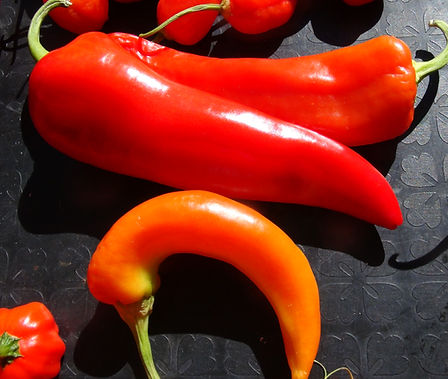 Here is the Sweet Banana Pepper, Capsicum annuum, Scoville units: 000 SHU. This pepper is often seen in grocery stores but is considered an heirloom! This variety is highly regarded among chefs, gardeners and the commercial industry. It is smooth in flavor, with no heat and works great in any dish. Fruits can get to 7 inches long with the shape of a banana with a distinctive curveand have no heat just sweet! The plants can be highly productive and start producing mid season and get to around 3 feet tall. Best to grow in full sun and loamy organic soil. Open Pollinated, 60 days.