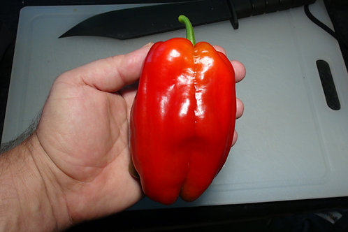 Here is the Al-Bab Pepper, Capsicum annuum, Scoville units: 000 to 500 SHU. This pepper originates from the city of Al-Bab in