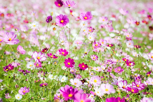 Here is the Cosmos Bright Lights Mix flowers, Cosmos sulphureus. It is native to scrub and meadow land in Mexico where most o