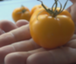 """Here is the Mountain Gold Tomato, NC 84173, Solanum lycopersicum, new for 2019. Released in 1991, developed by Dr. Randy Gardner at the North Carolina State Mountain Horticultural Crops Research Station. This Indeterminate, regular leaf tomato plant produces good sized, golden, tomatoes and is a heavy producing variety that originates from the USA. Very hardy and resistant to most blights. The fruits do vary in size an shape and can reach 2.5"""" and 5 to a bract. Great for snacking or making sauces and salads, open pollinated 75 days. PVP expired in 2010."""