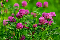 The Red Clover plant, Trifolium pratensecomes in a few varieties mostly red and white. This listing is for the common Red Clover varity. It is ashort-lived perennial plantin the Fabaceae or bean family.Trifolium pratensegrows Throughout north america, and is used as a seed sprouting crop food often usedin salads.Red Clover's flowers and leaves are edible, and can be added as garnishes to any dish.They can be ground into a flour. Due to its coumarin derivatives, T. pratense should be used with caution in individuals with coagulation disorders or currently undergoing anticoagulation therapy. Plants get to2 to 2.5 foot tall with alternate, trifoliate leaf like foliage. Open pollinated 35 to 60 days depending on the stage you want to harvest.