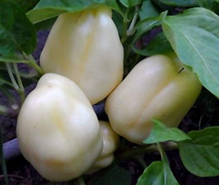 Here is the Albino Bullnose Pepper, Capsicum annuum, Scoville units: 000 SHU. The Albino Bullnose Pepper originates from the USA. Do not confuse this pepper with the white lakes pepper or Feherozon peppers. It is a sweet blocky pepper with thicker walls then a regular bell pepper. They go from bone in color to orange to red when fully mature. This pepper is a dwarf type plant and wont get much taller then 2 feet. One plant can produce a dozen or more peppers. You can Grow it as an ornamental, or in the vegetable garden, or both! Open pollinated 85 days.