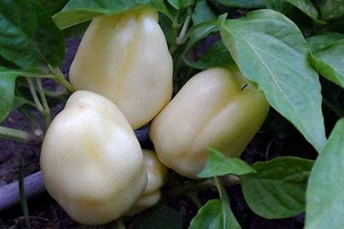 Here is the Albino Bullnose Pepper, Capsicum annuum, Scoville units: 000 SHU. The Albino Bullnose Pepper originates from the