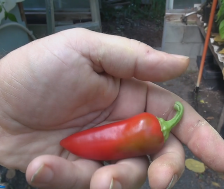 Here is the Harbiye Pepper, Capsicum annuum, Scoville units: 20,000 ~ 50,000 SHU. The Harbiye Pepper originates from a town in Hatay province inTurkey. The peppers produce 2 - 3 inchlong fruits an tend to be thick and has a very unique flavor. These plants can be very productive and love warm temperatures and get to 3 feet tall but compact. One plant can produce dozens of peppers. You can Grow it as an ornamental, or in the vegetable garden, or both! Open pollinated, 70 days.