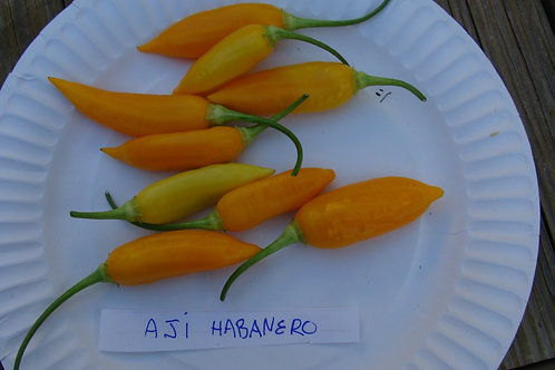 Here is the Aji Habanero Pepper, Capsicum baccatum, Scoville units: 3,000+ SHU. It is unlike the Habanero as this Aji has min