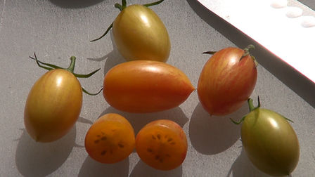 The Blush Tomato, Solanum lycopersicum was created by Fred Hempel. This Delightful little tomato is about 2 inches long and shaped like elongated grapes. They start out clear yellow, but later blush with pink streaks, announcing they are ripe and ready to pick. Expect heavy production throughout the season and a fabulous flavor that is sweet, fruity and refreshing. Fred Hempel of Baia Nicchia Farm in California developed this truly unique variety. Indeterminate, Open pollinated 65-75 days from transplant.