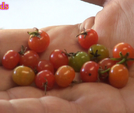"""Here is the Wild Currant Tomato From Peru, Solanum pimpinellifolium var. pimpinellifolium, new for 2019. This wild tomato from northern Peru is a very rare tomato type to come across! This Indeterminate, regular leaf,perennial tomato plant produces 1/4"""" sized, red, tomatoes that have a smooth red skin and can be a heavy producing variety. We found this variety to be resistant to most diseases. The fruits are edible delicious. This species tends to handle colder climates and grows well in very wet conditions. Seeds are tiny an need some attention when starting, open pollinated 65 days."""