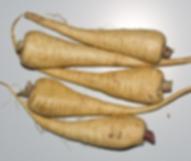 Here is the Hollow Crown Parsnip, Pastinaca sativa. Some confuse this variety with the Parsnip Guernsey variety but in fact it is not the same but with a longer and wider root.This was a popular variety in the 1820's with very long cream colored roots that get to around 8 to 12 inches long and 2 to 3 inches wide!The plant can grow as tall as 6+ feet tall if left growing in it's second year. This is a biannual so make sure you harvest it the first year in late fall or early spring for best flavor.They have a sweet taste better then a carrot! Best to harvest them in colder weather for sweeter roots. Open pollinated start in June and harvest in late September or early spring before it bolts. 120 days.