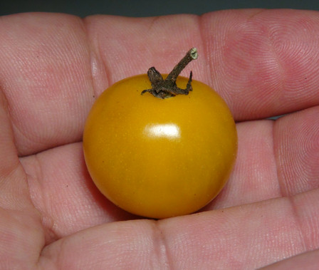 Here is the Egg Yolk Tomato, Solanum lycopersicum. This tomato originates from Missouri, USA and was be created by Larry Pierce. The fruits are a large cherry sized round tomato with a deep yellow skin and a creamy yellow flesh inside that gets to about 1.25 inch round and weighting around 1 oz. The thing about this variety is the unusual egg yolk yellow color! Plants can get to 5 feet tall in really good soil but plants tend to get to 4 feet tall. Great for salads, eating fresh and for tomato sauce and paste! Open pollinated indeterminate regular leaf mid season 65-80 days.