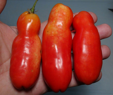 Here is the Smiley Worms Tomato, Solanum lycopersicum. This tomato has an unknown origin but is believed to originate from the Baltic nations. The only info we have is the seeds was obtained from a woman named Iva in Slovenia. The fruits are a long odd shaped paste type with a orange skin and deep red marbled flesh inside that gets to about 3 to 5 inches long and weighting around 4 oz. The thing about this variety is the shape resembles a phallic even with a hole in the tip! Plants can get to 6 feet tall in really good soil but plants tend to get to 4 feet tall. Great for salads, eating fresh and for tomato sauce and paste! Open pollinated indeterminate regular leaf mid season 65-82 days.