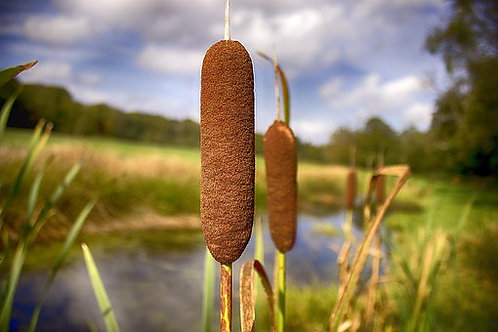 Cattails aka Punks and Corndog Grass, Typha latifolia are aquatic or semi-aquatic, rhizomatous, herbaceous perennial plants t