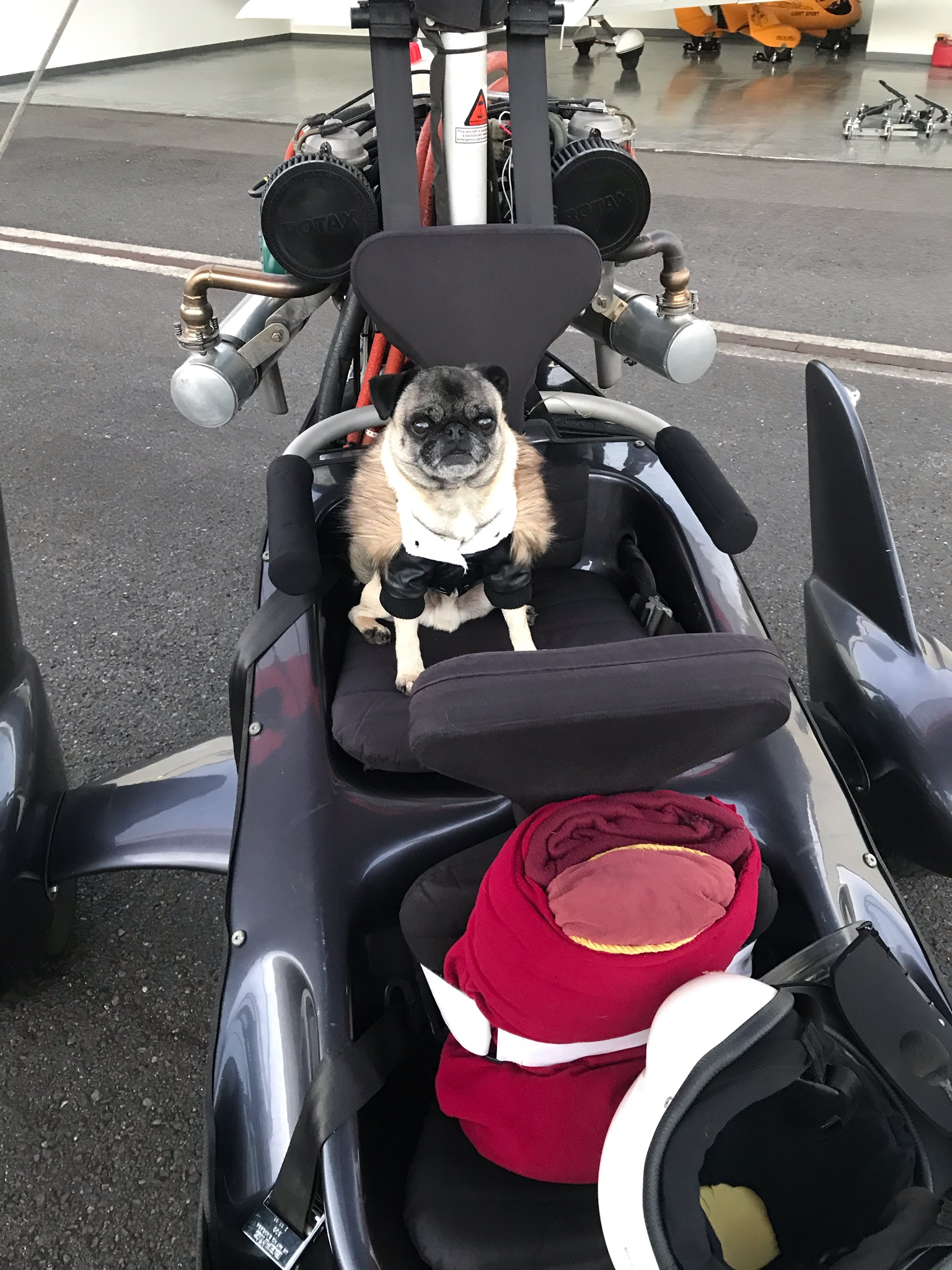 Pugs in Bomber Jacket