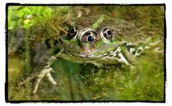 Rana esculanta - pond frog