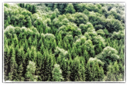 The Black Forest turned green