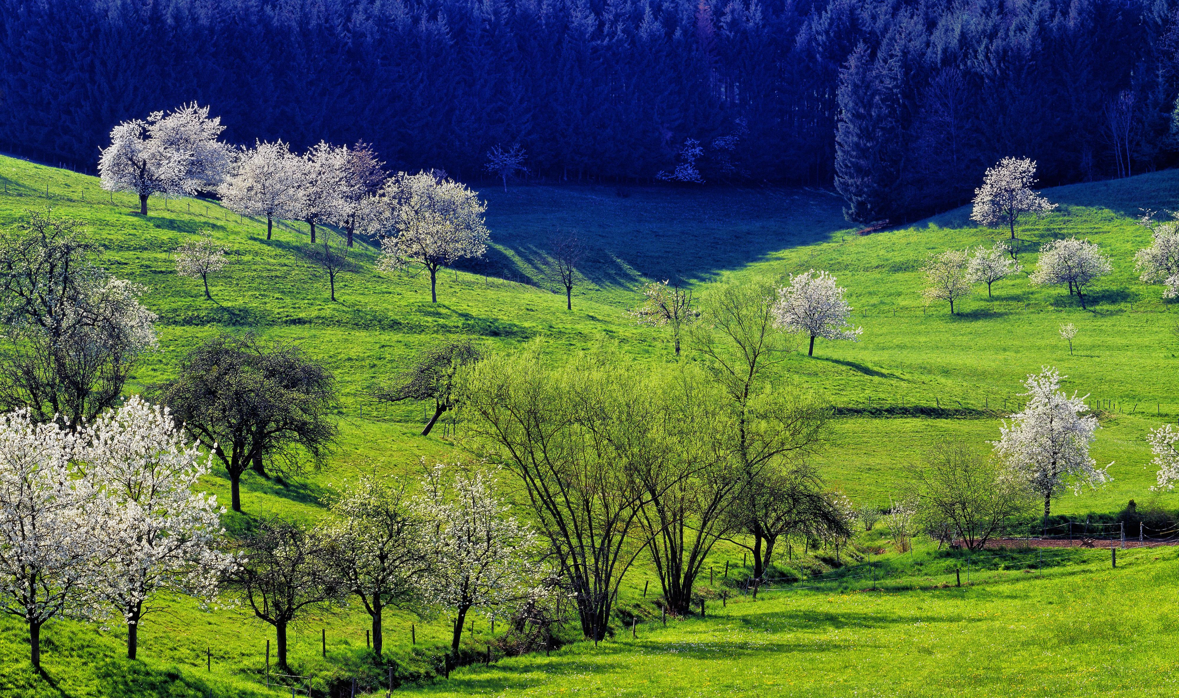 cherry blossom near Sitzenkirch