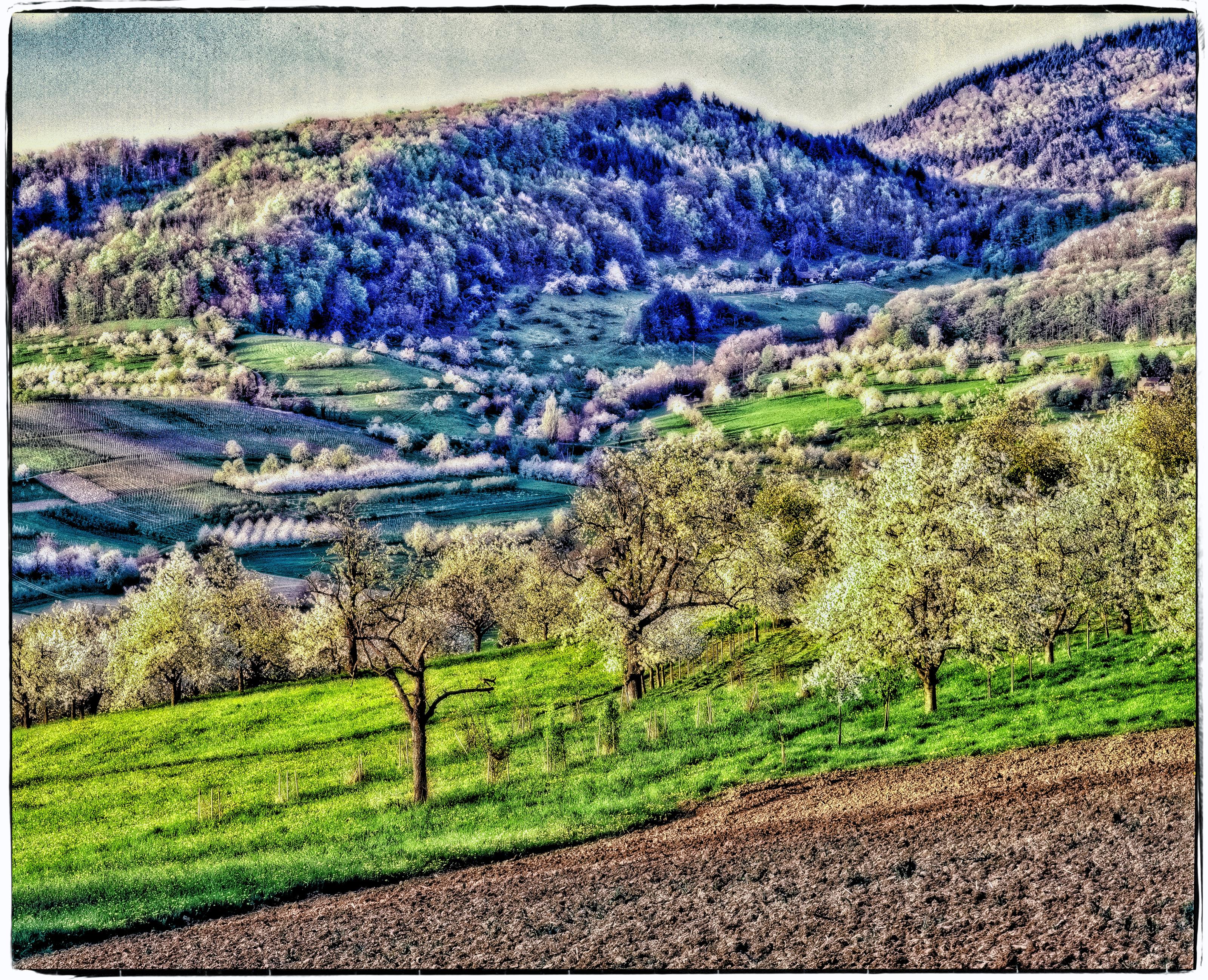 cherry blosom season in the valley of Obereggenen