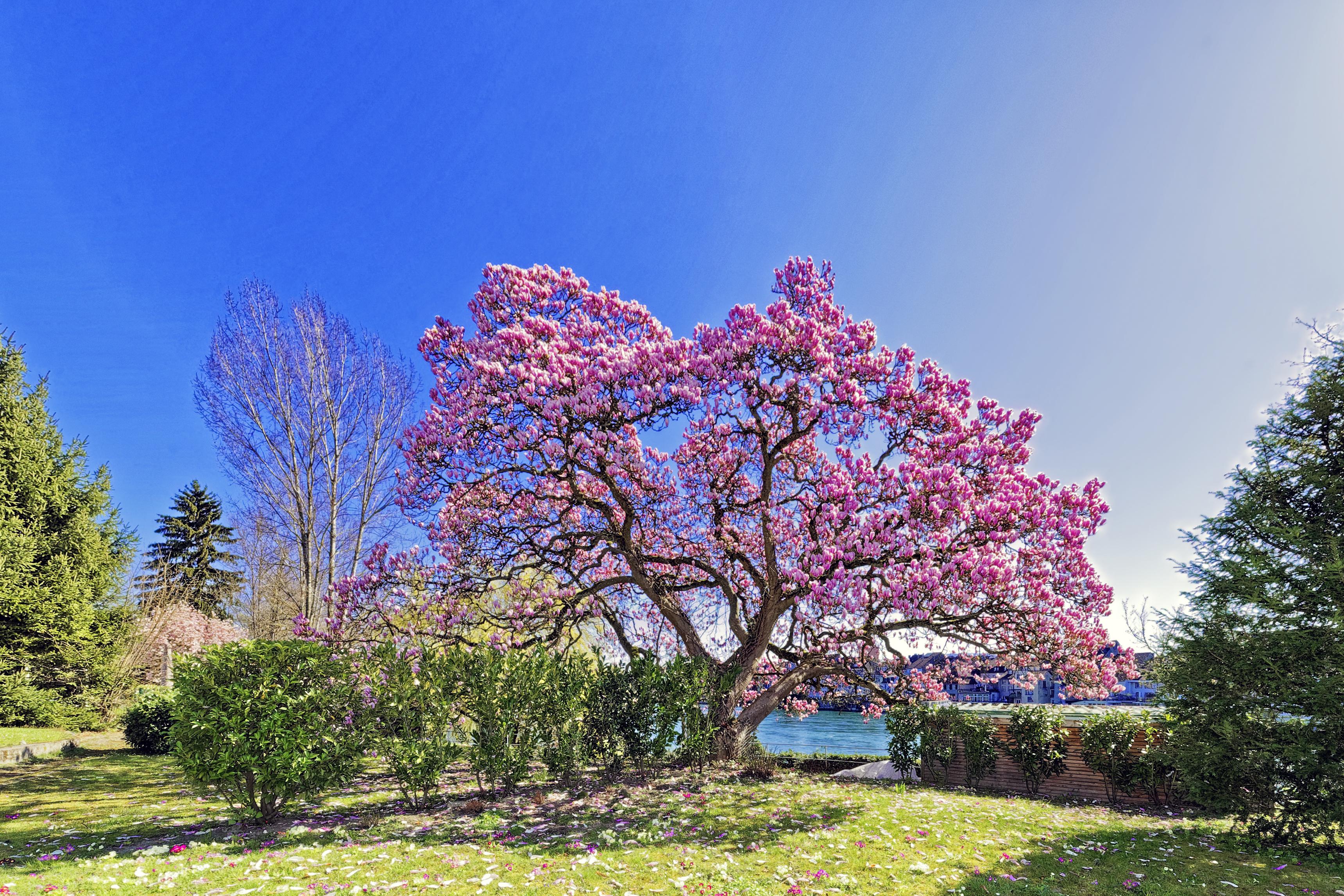 Magnolia magnifica