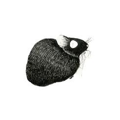 Small Amami rabbit