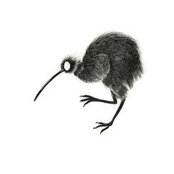 Northern brown and Rowi kiwi bird