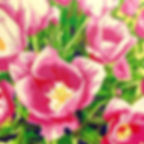 kate graham heyd pink tulips painting 19