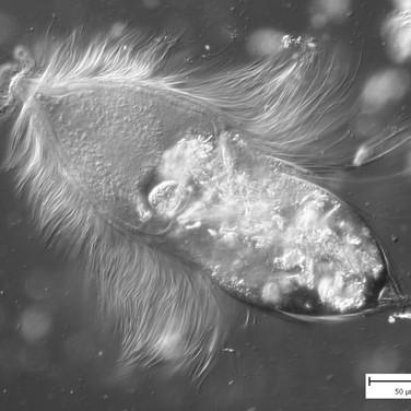 Trichonympha sp.