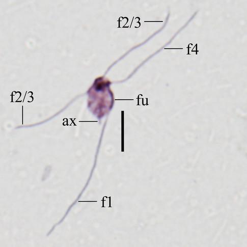 Monocercomonoides